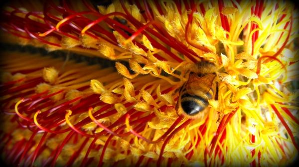 1-BanksiaBee